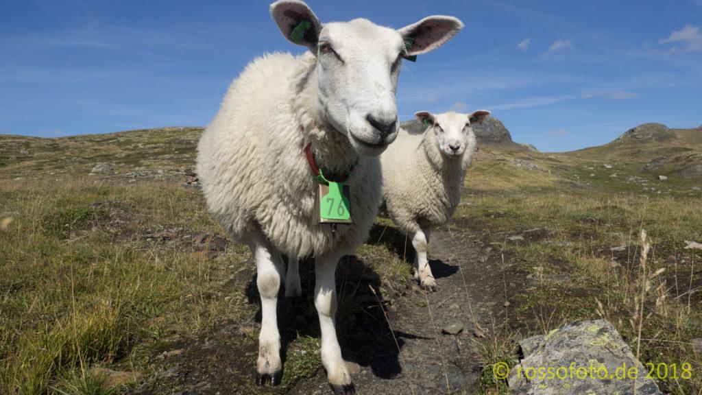Ein wenig die Umgebung erkunden mit neugierigen Schafen.